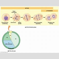 Biol2060 Cell Cycle (a