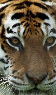 Tiger Eyes | Christopher | Flickr