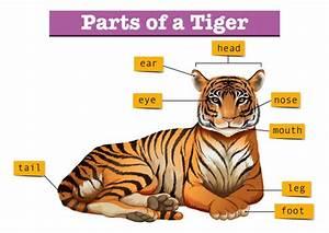 Diagram Showing Parts Of Tiger