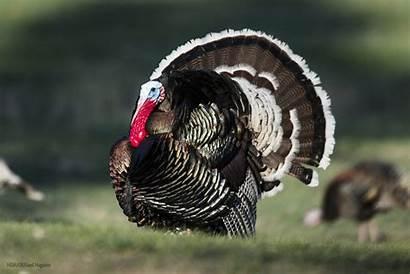 Turkey Wild Merriam Nebraska Hunters Spring Turkeys