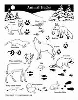 Tracks Animal Coloring Poster Resolution Activity Animals Teaching Exploringnature sketch template