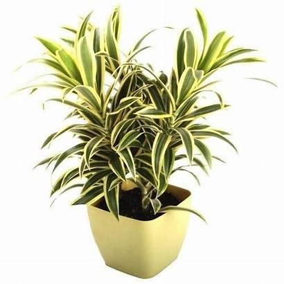 Indoor Plants Dracaena Reflexa India Plant Song