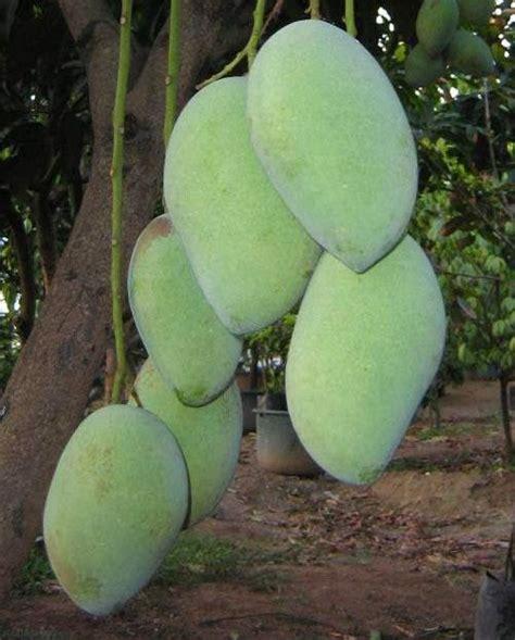 bibit buah mangga apel tinggi 60cm bibit mangga chokanan 70 cm jualbenihmurah