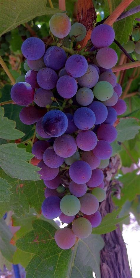 une grappe de raisin  bunch  grapes grow