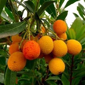 Arbre A Fruit : arbousier de bouture arbre aux fraises vente en ligne de plants d 39 arbousier de bouture pas ~ Melissatoandfro.com Idées de Décoration