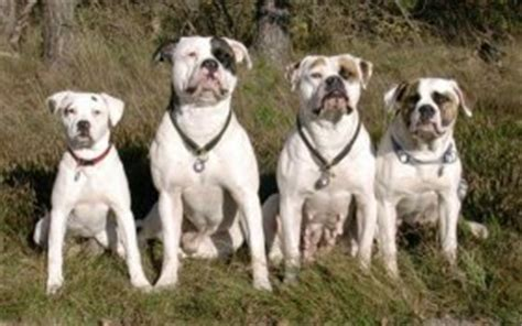 american bulldog zwinger chestnuts  indians