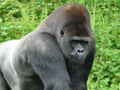 Western Lowland Gorilla Facts