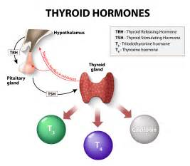 Thyroid Gland Function and Hormones