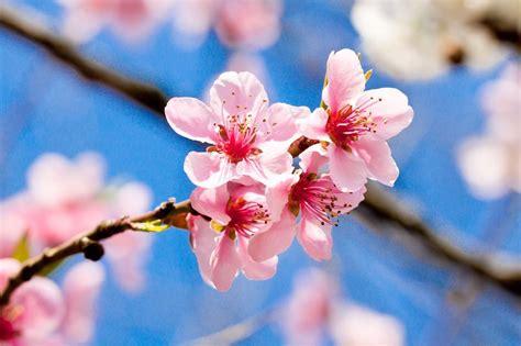 i fiore fiori di ciliegio il significato dei fiori