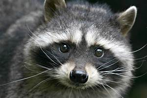 Keeping, And, Caring, For, Raccoons, As, Pets
