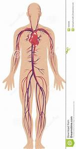 Circulatory System Stock Illustration  Illustration Of