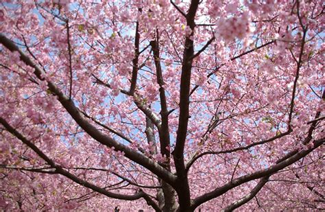 cherry blossom facts 10 interesting facts about cherry blossom global blue