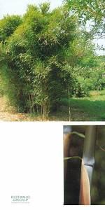 Bambus Braune Blätter : bambus pleioblastus gramineus pflanzenversand pflanzenhandel pflanzen pflanzgef e und ~ Frokenaadalensverden.com Haus und Dekorationen