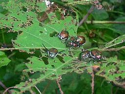 best way to get rid of japanese beetles the herb gardener how to get rid of japanese beetles