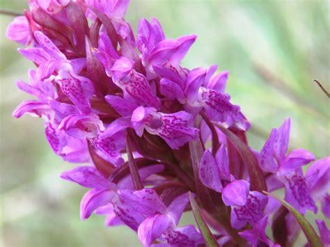 Engures ezera orhideju taka - viskrāšņāk zied jūnijā ...