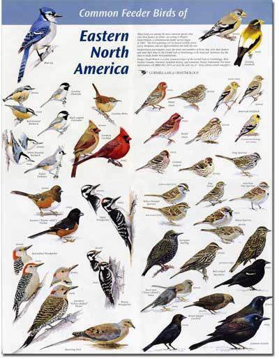 Backyard Identification by Common American Birds Identification Of Eastern N