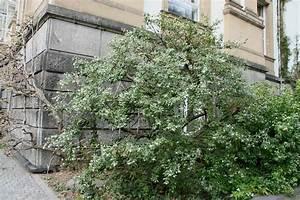 Weiß Blühender Strauch : osmanthus burkwoodii burkwoods duftbl te ~ Lizthompson.info Haus und Dekorationen
