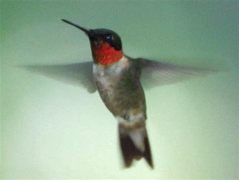 journey north hummingbird