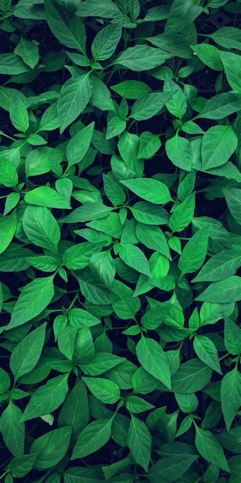 daun sirih latar belakang pemandangan