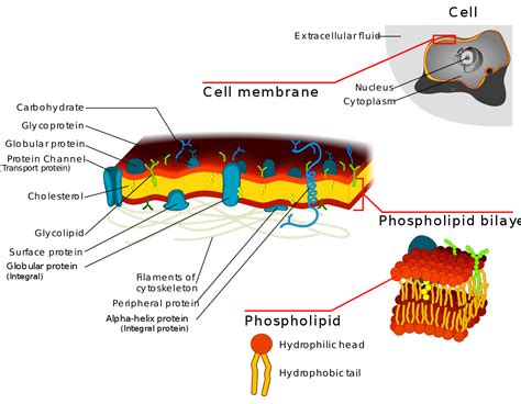 Cell Biology Membrane Transport Permeases Channels