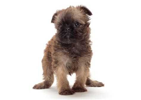 Dogs That Dont Shed Or Grow by 11 Tiny Dogs 15 Pounds Who Stay And Small