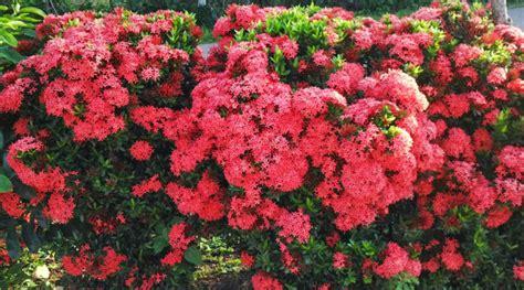 tokobungakarangan manfaat bunga asoka bagi kesehatan tubuh