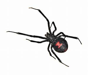 Black Widow Spider Facts | Black Widow Spider Control | TERRO®
