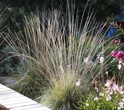 what ornamental grasses are perennials mulengergia rigens ornamental grass perennial meadows pinterest
