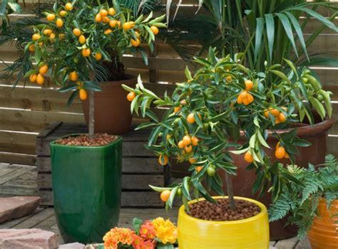 comment r 233 ussir la culture de 10 agrumes au jardin ou en pot