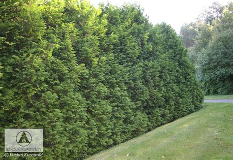 thuja occidentalis brabant thuja occidentalis brabant туя западная брабант