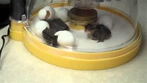 bobwhite quail egg hatch with rudy