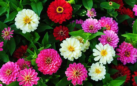 zinnia wallpaper gallery