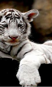 White Tiger Cubs Wallpaper   Amazing Wallpapers
