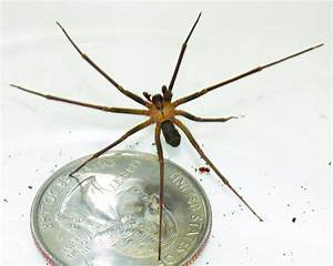 Top 10 things about brown recluse spiders   Earth   EarthSky