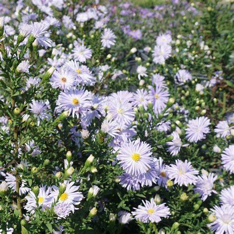 aster fiori erbacee perenni aster in blue