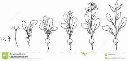 Coloring Seed Plant Radish Growth Stages Sprout