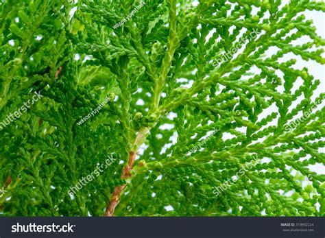 Leaves Pine Tree Oriental Arborvitae Scientific Stock