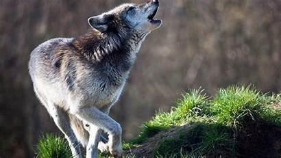 Howling Wolf Desktop Wild Animals Background