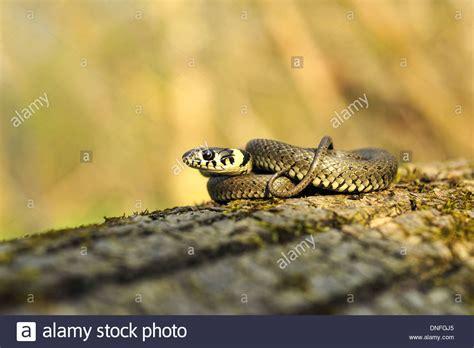 Schlange Stockfotos & Schlange Bilder Alamy