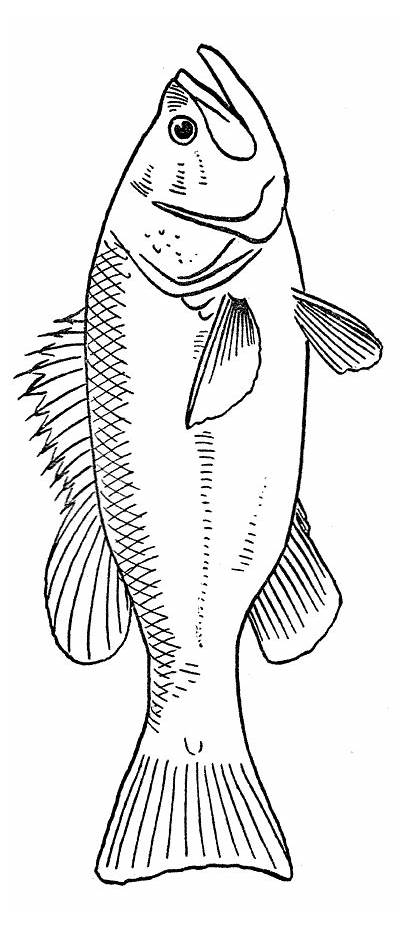 Fish Coloring Pages Stencil Wood Printable Realistic