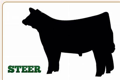 Steer Clipart Calf Clip Outline Cattle 4h