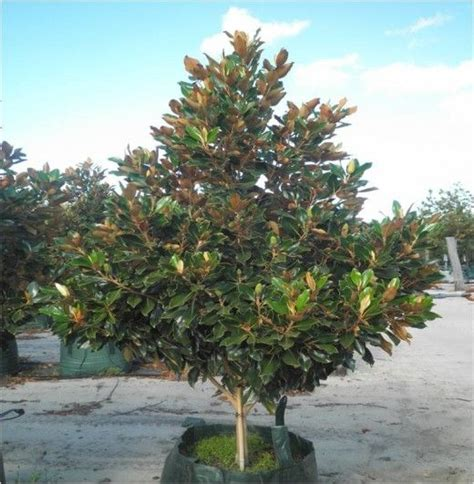magnolia grandiflora little gem evergreen magnolia for