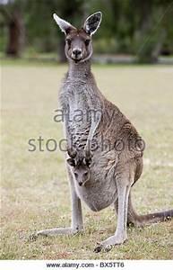 Kangaroo Joey Pouch Cute Stock Photos & Kangaroo Joey ...