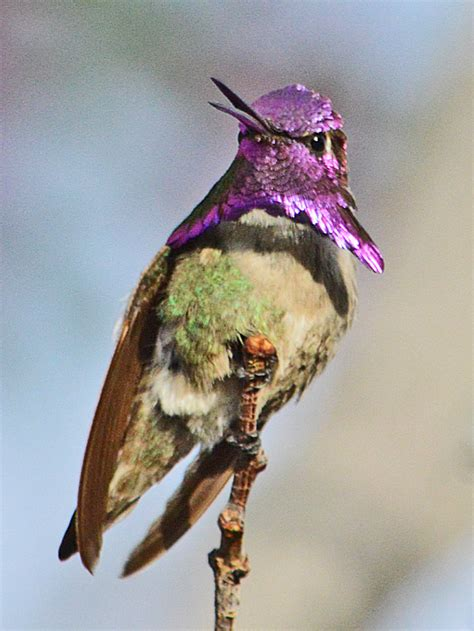 costas hummingbirds collar birds  blooms