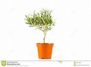 Olivenbaum Im Topf : olivenbaum in einem topf stockfoto bild 46642459 ~ Michelbontemps.com Haus und Dekorationen