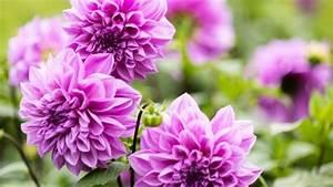 Pflanzen Im Mai : dahlien pflanzen ab mai ist der beste zeitpunkt ~ Buech-reservation.com Haus und Dekorationen