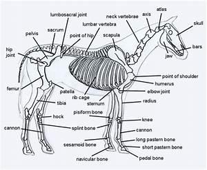 Horse Skeleton Diagram