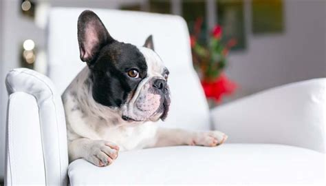 Best Appartment Dogs by 21 Best Apartment Dogs For Any Owner Nextgen