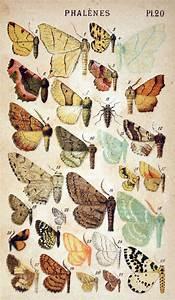 Vintage Butterfly Illustration       Vintageprintable