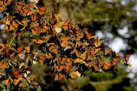 monarch butterfly animal planets   extreme wiki